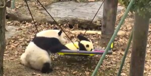 LIVE Webcam Panda Center in China's Wolong Valley